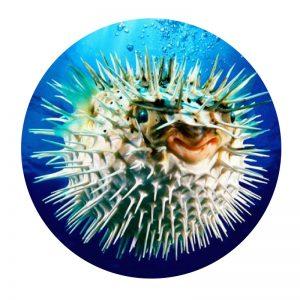 weird and wonderful puffer fish