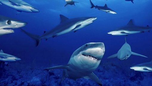 Ultimate Sharks Facts