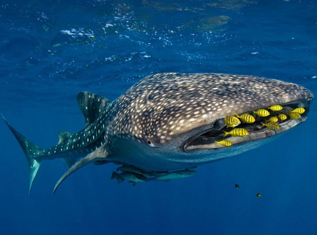whale shark resources