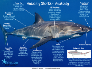 shark anatomy and adaptation
