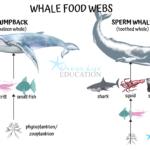 Whale Food Webs