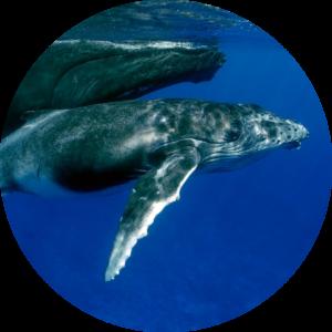 humpback migration