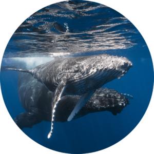 humpback & calf