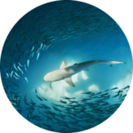 sharks & natural selection